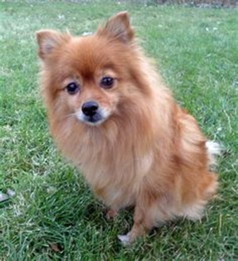 terrier and pomeranian mix pomeranian x fox terrier on pomeranian mix yorkie and