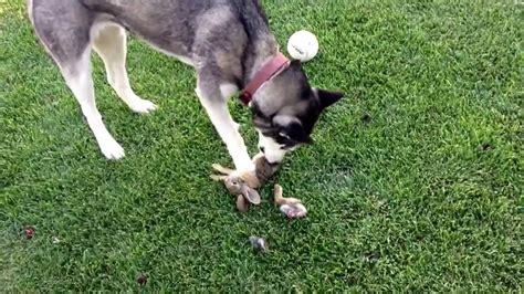 rabbit dogs dogs eat rabbits v