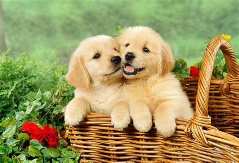 golden retriever newborn puppies 10 tips to care for golden retriever puppy pets world
