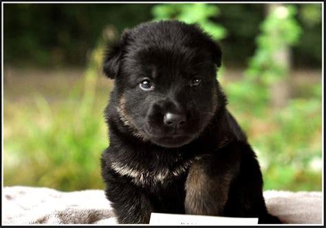 all black german shepherd puppies baby german shepherd puppies breeds picture
