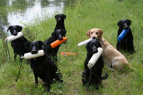 trained dogs methods labrador retriever breeders and