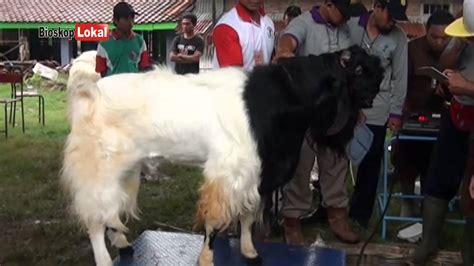 Kambing Etawa Why kontes unik kecantikan kambing etawa pe tarik minat wisata