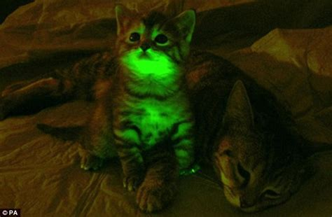 Glow In The Fur Coats Help You Find Your Way In Da Club by Green Glowing Cats Are New Tool In Aids Research Daily