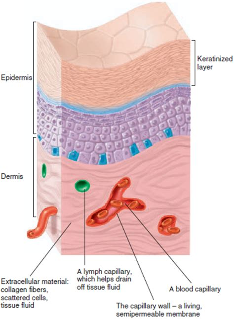 tissue diagram human physiology epithelial tissue