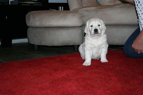 golden retriever puppies for sale uk golden retriever puppies for sale tregaron ceredigion pets4homes