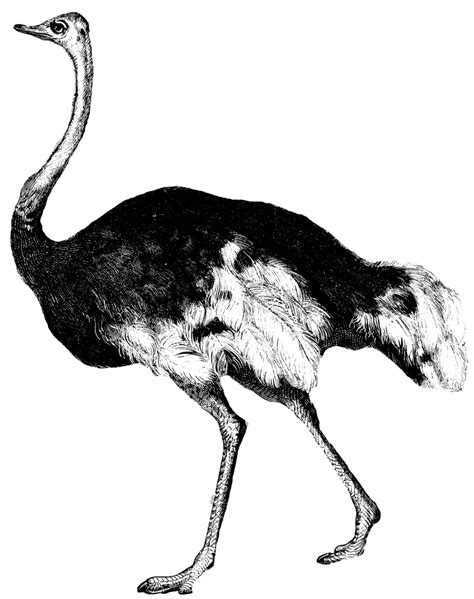 ostrich clipart ostrich clipart clipart kid