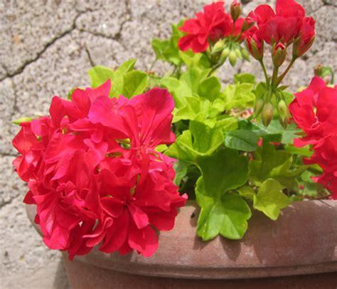vaso di gerani un vaso di gerani filippo foto