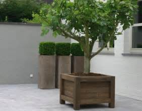 fig tree and boxwood in planter boxes on a patio