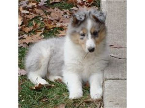 collie puppies for sale in nc collie puppies in illinois