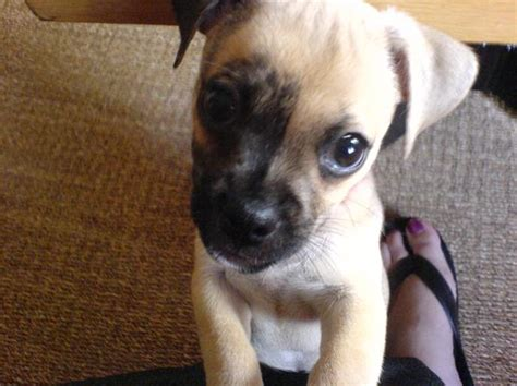 jug puppies what is a quot jug quot really like find out in this breed