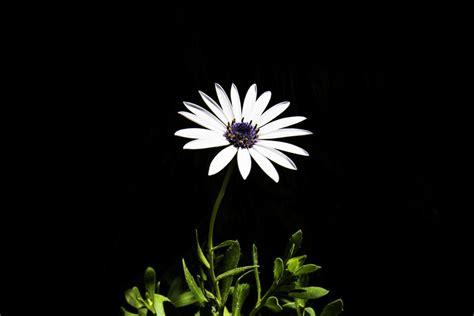 foto margherita fiore immagini fiorire bianco e nero fiore petalo