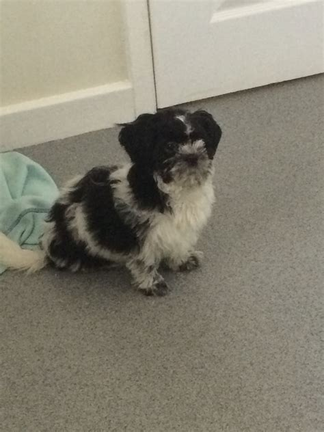 shih tzu puppies for sale in durham shih tzu for sale stanley county durham pets4homes