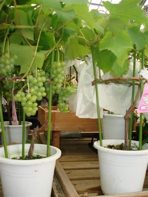 Here Rak Susun 5 In 1 Putih anggur dalam pot related keywords anggur dalam pot
