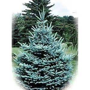 blue spruce real christmas tree