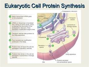 where in a eukaryotic cell does translation occur transcription and translation ppt video online download