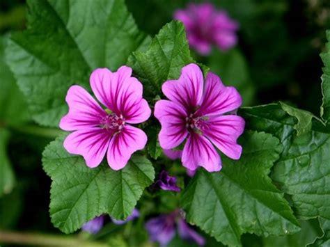fiori e foglie malva fiori e foglie prezzo per 100 g prodotto da