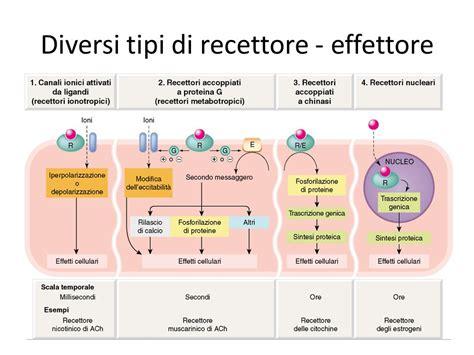 diversi tipi di diversi tipi di recettore effettore ppt scaricare