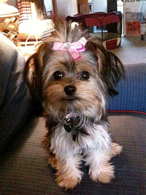 best haircut for a chorkie lola with a bow yorkie and chihuahua mix cute