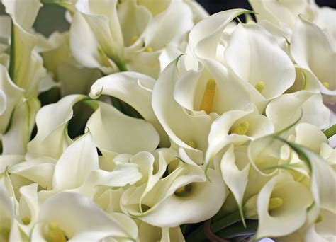 growing  care  indoor calla lily indoors
