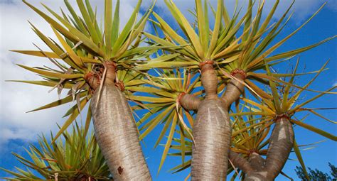 grow dragon trees  homes  gardens
