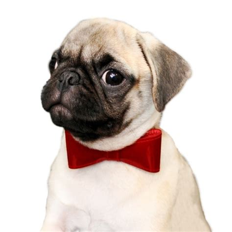 collars for pugs pug bow tie collar pugs