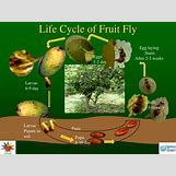 Fruit Fly Life Cycle Stages | 720 x 540 jpeg 58kB