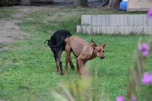 hunde beim decken pinschervomzauberwald deutsche pinscher hundezucht