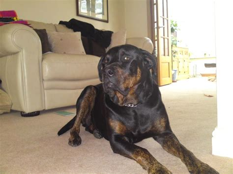 rottweiler great dane mix rottweiler growth breeds picture