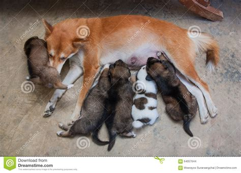 dogs and milk puppies milk from their stock photo image 64057644