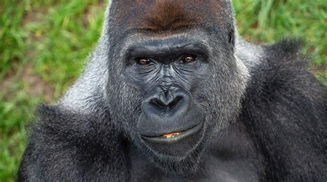 Adult male mountain gorillas can weigh up to 484 pounds a ...