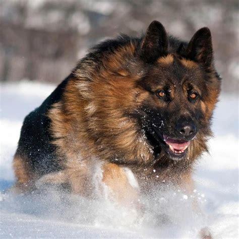 dogs that look like german shepherds beautiful haired shepherd he looks like a