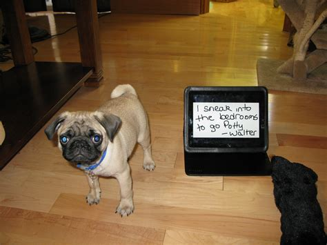 are pugs to potty walter the potty shaming pug puppy