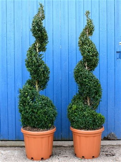 spiral evergreen shrubs for landscaping box spiral