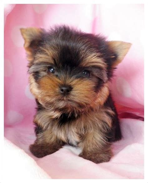 teacup yorkie for sale in alabama 17 best ideas about yorkie puppies on yorkie adorable puppies and dogs