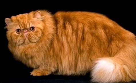 Kucing Tulang Besar pengen beli kucing kenali ciri cirinya terlebih