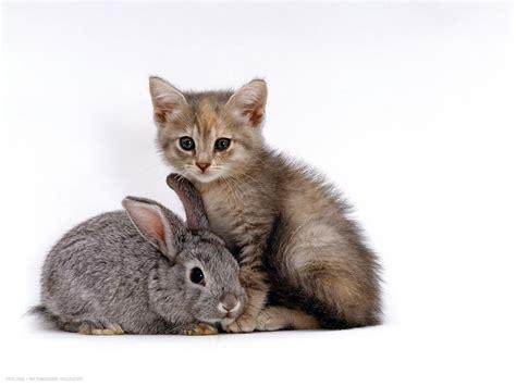 silver tortoiseshell kitten  silver dwarf lop eared