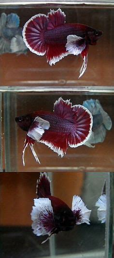 apple iphone  wallpaper  red betta fish  dark
