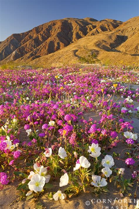 desert flowers anza borrego anza borrego ca adventures north america pinterest