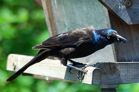 birds of kentucky common grackle on columbiamagazine com