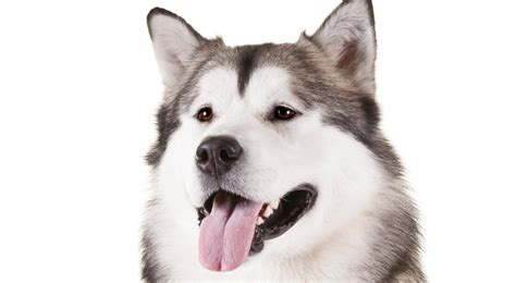 alaskan breeds alaskan malamute breed information american kennel club