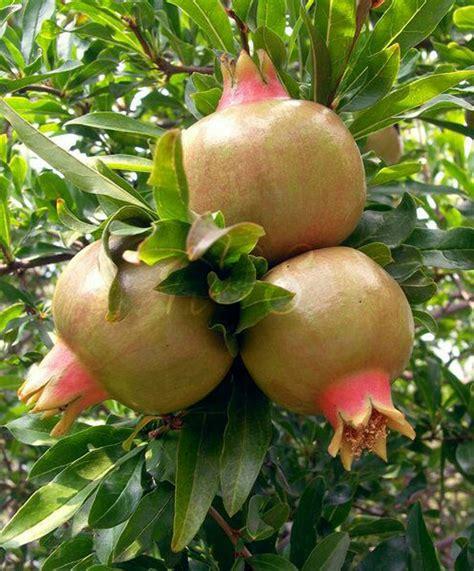 Bibit Buah Delima jual bibit tanaman buah delima putih di lapak hgs kipli suf