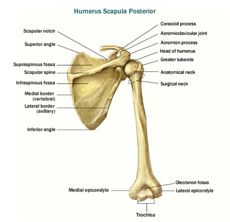 landmarks diagram clavicle landmarks scapula parts click here to view