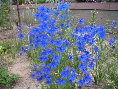Delphinium Blue Butterfly 12 18 Quot Full Sun To Light Blue Garden Flowers