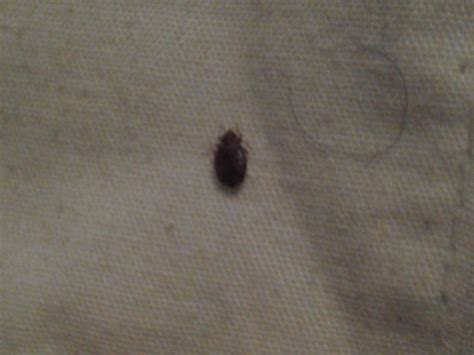 identifying bed bugs identification 699 bed bug cimex lectularius pest pro