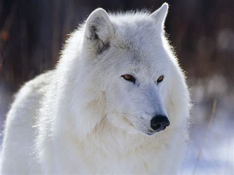 white wolf white wolf wolves wallpaper 4964030 fanpop