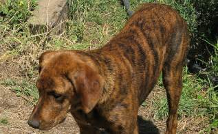 brindle colored dogs breeds with brindle coat patterns breeds picture