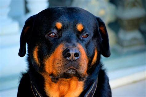 dogs that look like rottweilers rottweilers looks like greb dogs