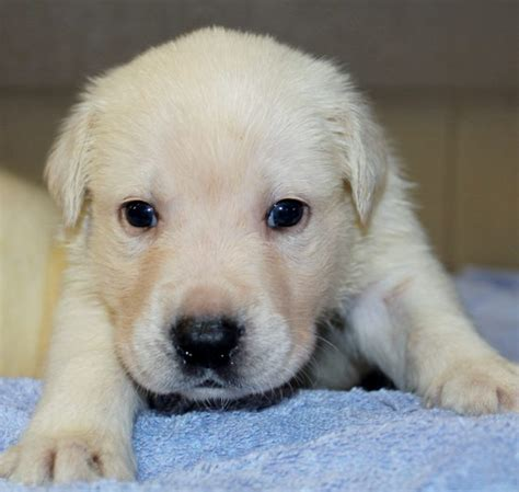 yellow lab puppies for sale in ga these are