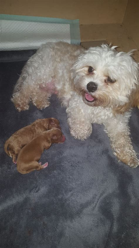 cavapoochon puppies for sale cavapoochon puppies for sale all sold southport merseyside pets4homes