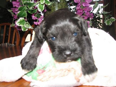 schnauzer puppies for adoption ckc miniature schnauzer puppies for adoption for sale in